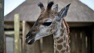 Eine junge Giraffe schaut über einen Zaun. © Vincent TV GmbH / NDR