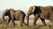 Zwei Elefanten in freier Wildbahn. © Vincent TV GmbH / NDR