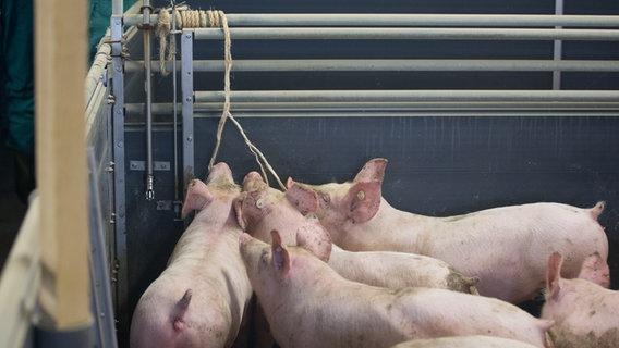Schweine nagen in einem Stall an Seilen. © dpa Foto: Friso Gentsch