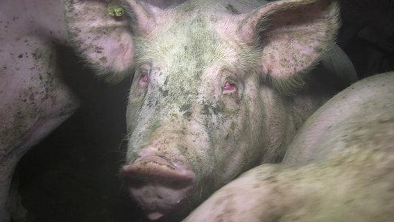 Ein Schwein mit roten Augen. © ARIWA
