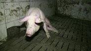 Ein Schwein, das Probleme hat aufzustehen. © ARIWA